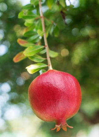 tree fruit: Ripe red pomegranate fruit on the tree.