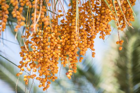 albero da frutto: Data di palma e cielo blu sullo sfondo.