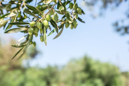 Branch of olive tree with berries on it. Closeup. Banco de Imagens - 49092164