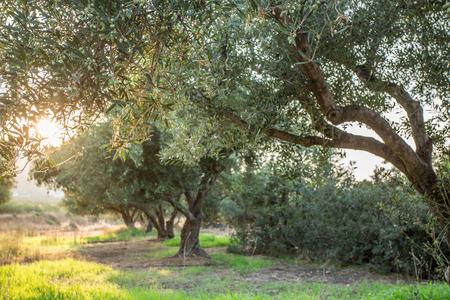 オリーブの木の庭。空の背景の木の長い列。 写真素材