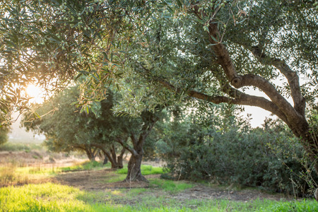 arboles frutales: Olive trees garden. Long row of trees on the sky background.