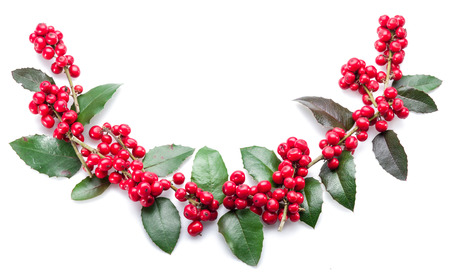 fruit background: European Holly (Ilex) leaves and fruit on a white background.