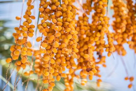 albero da frutto: Date frutti sull'albero. Avvicinamento.