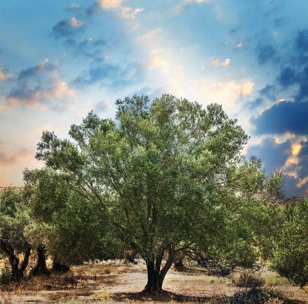 In de olijfbomen tuin. Stockfoto