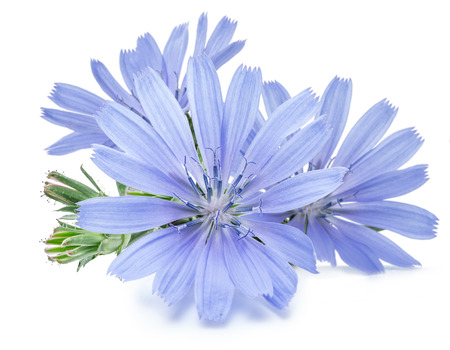Cichorium intybus - common chicory flowers isolated on the white background. Фото со стока