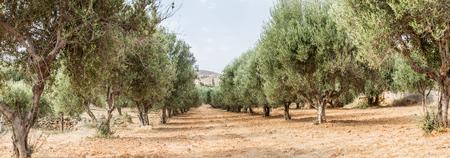 Olijfbomen tuin. Lange rij van de bomen op de hemel achtergrond.