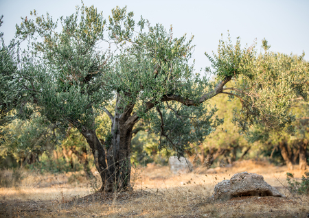 tree branch: In the olive trees garden. Stock Photo