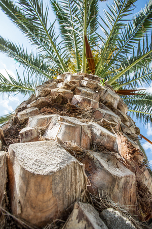 dactylifera: Date palm and blue sky on the background.