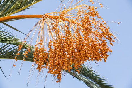 dactylifera: Date fruits on the tree. Close-up.