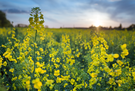 a seed: Field of rape seed plants and blue sky on the background. Stock Photo