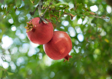 Ripe red pomegranate fruit on the tree.