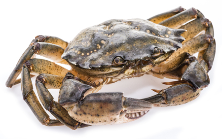 edible: Carcinus maenas -edible alive crab isolated on a white background. Stock Photo