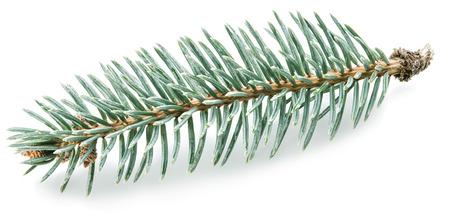 evergreen branch: Peque�o pieles rama de un �rbol. pieles de hoja perenne. Foto de archivo