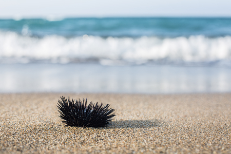 urchin: Urchin  at the coast line.The calm sea at the background.