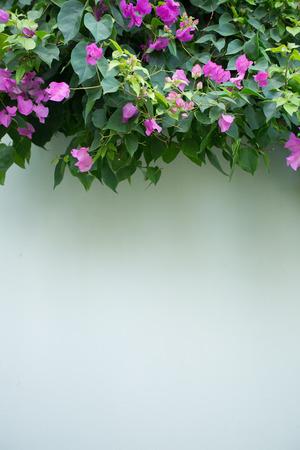 bougainvillea: Evergreen Bougainville shrub as the wall decoration. Stock Photo