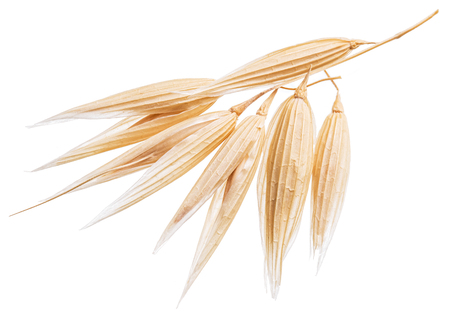 oat plant: Oat plant isolated on a white background.