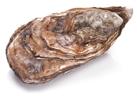 oyster shell: Raw oyster on a whte background.