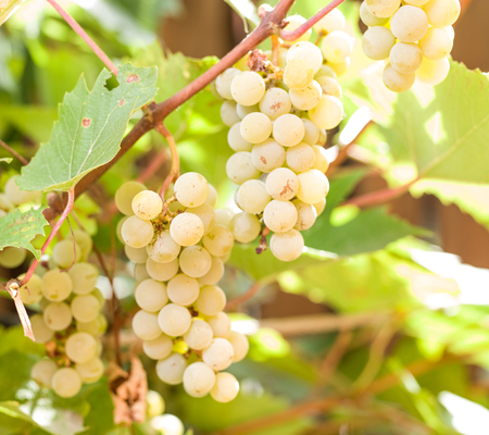 vinery: Bunch of white grapes on the vine.