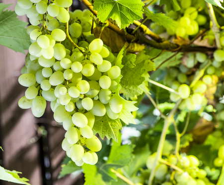 vinery: Ripe Kish-mish grapes on the vine. Green sunny leaves on the background. Stock Photo