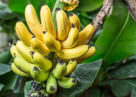 手のひらにバナナの熟した束。クローズ アップ写真。