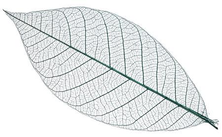 Skelet van het blad op een witte achtergrond.