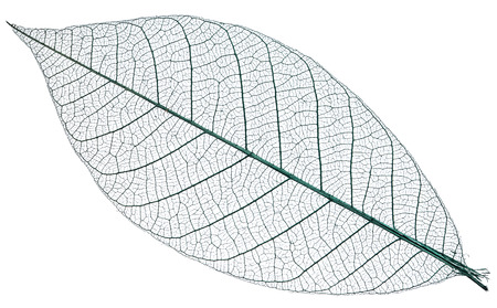 skeletons: Skeleton of leaf on a white background.