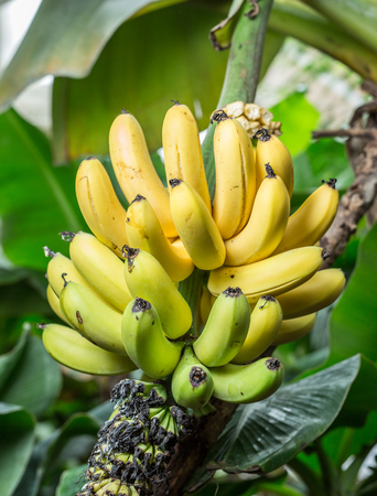clusters: Ripe bunch of bananas on the palm. Closeup picture. Stock Photo
