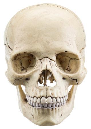 modelo de cráneo aislado en un fondo blanco. Foto de archivo
