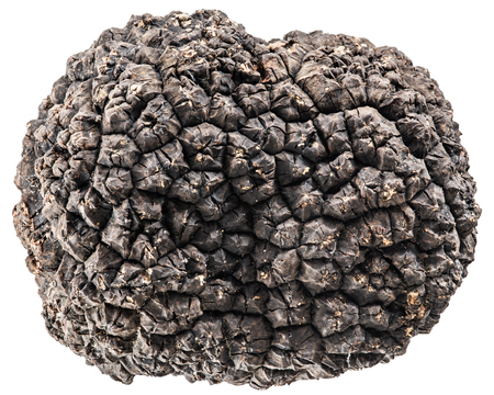 truffle: Black truffle. Stock Photo