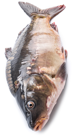 edible fish: Common carp -food fish isolated on a white background.