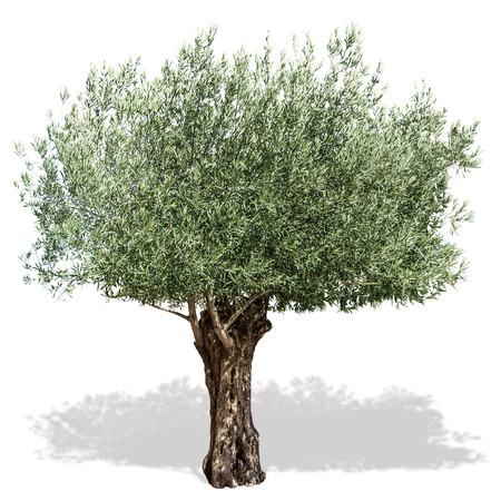 Drzewo oliwne na białym tle. Wycinek ścieżki.