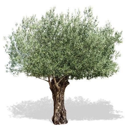 Olive tree  on a white background. Clipping path.