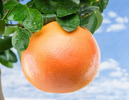 citrus tree: Big ripe grapefruit on the tree. Blue sky background.