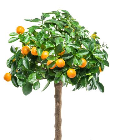 tangerine tree: Ripe tangerine fruits on the tree. White background.
