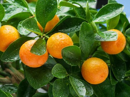 albero da frutto: Ripe tangerine fruits on the tree. Blue sky background. Archivio Fotografico