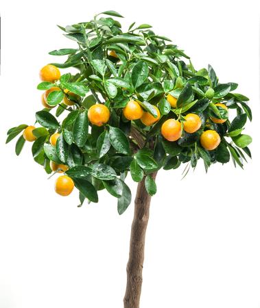 naranjo arbol: frutas mandarina madura en el árbol. Fondo blanco.