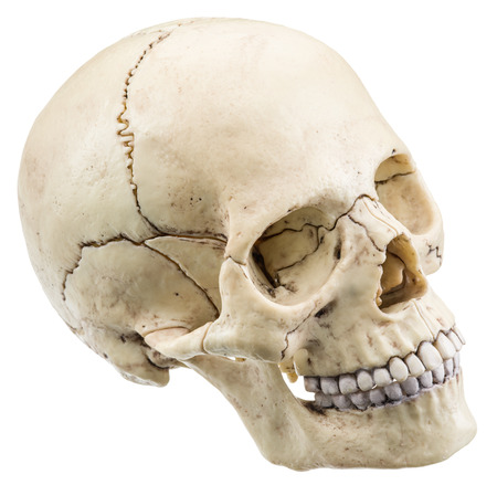objects with clipping paths: Skull model isolated on a white background. File contains clipping paths.