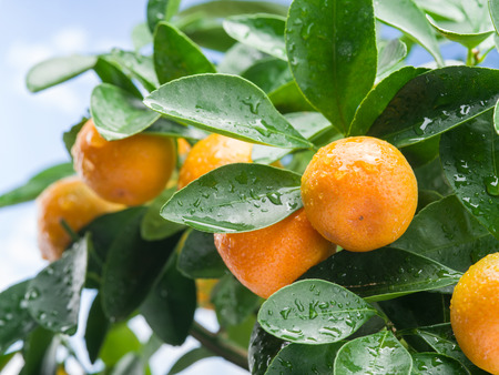 naranja fruta: Ripe tangerine fruits on the tree. Blue sky background. Foto de archivo