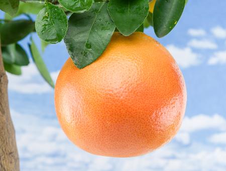 crone: Big ripe grapefruit on the tree. Blue sky background.