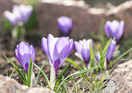crocus: Crocus -blomming spring flowers.
