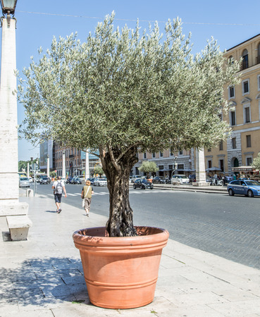 pots: Olive tree in the pot on the street.