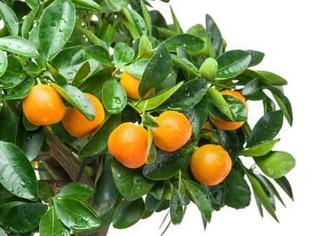 crone: Ripe tangerine fruits on the tree. White background.