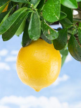 crone: Ripe lemon fruit on the tree. Blue sky background.
