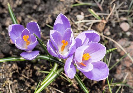 blomming: Crocus -blomming spring flowers.