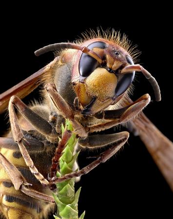 yellow jacket: Macro shot of hornet or yellow jacket. Stock Photo