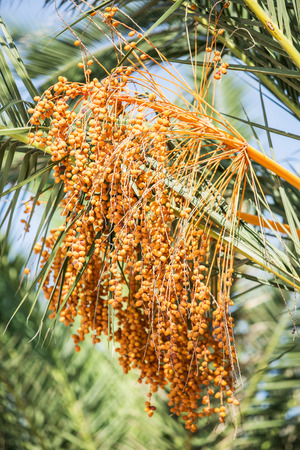 date palm: Date palm and blue sky on the background.