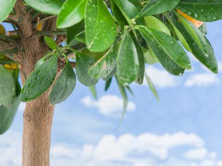 crone: Wet lemon tree leaves on the blue sky background. Stock Photo