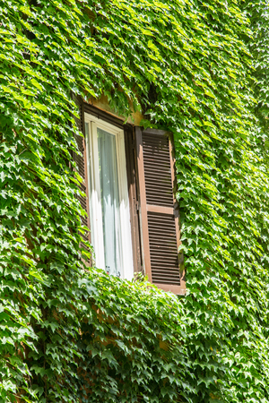 folliage: Window with opened shutters in the vine-shrouded wall.