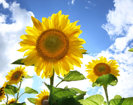 champ de fleurs: Bright picture of sunflowers in the field on the sunny day.