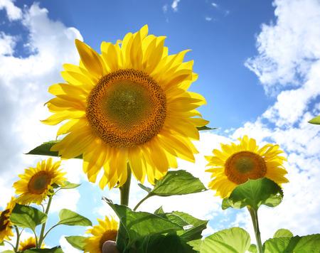 campo de flores: imagen brillante de girasoles en el campo en el día soleado.